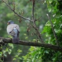 Голубь вяхирь :: Swetlana V