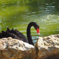 Черный лебедь :: Татьяна Огаркова