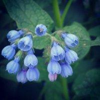 Маленькие, нежные, весенние цветочки :: Валентина Алейник