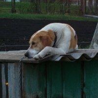 Грустный пёс :: Николай Филоненко