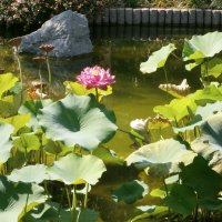 Лотос. Японский сад :: Алёна Савина