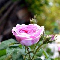 Роза чайная :: Igor Osh