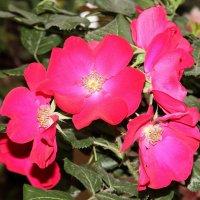 Шиповник, цветы :: Александр Rehc