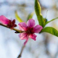 первые цветики весны :: Настасья Войтун