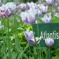 Тюльпан Atlantic :: Lera Morozova