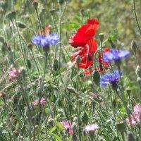 Июньское разноцветье... :: Тамара (st.tamara)