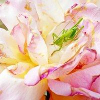 Гость увядающей розы... :: Светлана Генова