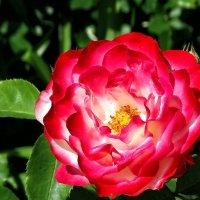Розы  из Выдубицкого монастыря Фото №12 :: Владимир Бровко