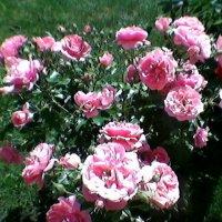Розовый куст :: Миша Любчик
