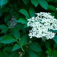 Зеленая листва, белый цвет. :: Виталий Охрамовский