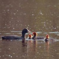 лысуха с птенцами :: Ирина Кулагина