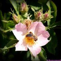 Пчел на шиповнике :: Андрей Заломленков