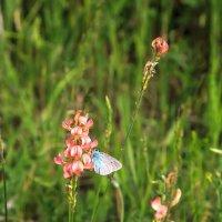 Голубая бабочка :: Николай Николенко