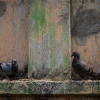 У голубей тоже есть любовь и семьи... :: Светлана Фомина