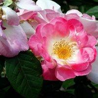 Розы из Выдубицкого монастыря Фото №16 :: Владимир Бровко