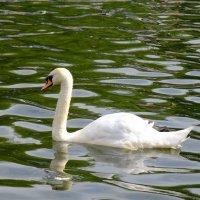 Лебедь в Лианозовском парке :: Сергей Ткаченко