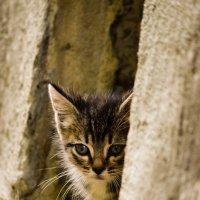 Котёнок :: Алёна Мартынцова