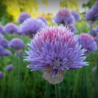 Цветущий лук... :: Natalisa Sokolets