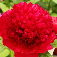 Red Charm - Красное очарование :: Nikolay Monahov