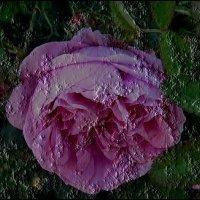 Грёзы чайной розы... :: Нина Корешкова