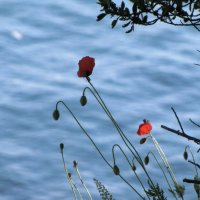 Маки над морем :: Ольга Иргит