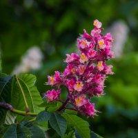 Розовый каштан. :: Андрей Нибылица