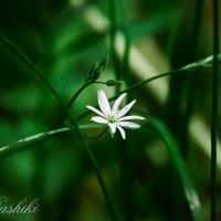 Цветы могут склоняться в нашу сторону, но говорят они с небом и богом. Генри Уорд Бичер :: Dashiki