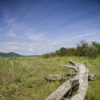 Старое дерево :: Ольга Гурьянова