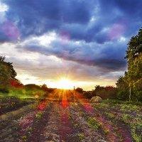 Мои картофельные грядки и закат солнца. :: Валерий Изотов