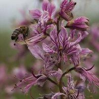 Ясенец с пчелой :: Елена Ахромеева