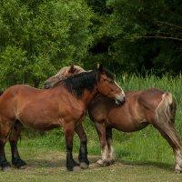 На лугу пасутся кони... :: Михаил Гажур