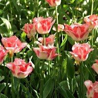Фестиваль тюльпанов на Елагином острове :: Вера Саитхужина