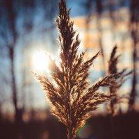 Золотая травинка :: Юлия