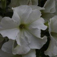 Цветочный хоровод-168. :: Руслан Грицунь