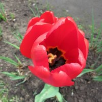 Сердце тюльпана... :: Валентина Жукова