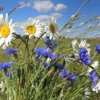 В поле с ромашками и васильками. :: Павлова Татьяна Павлова