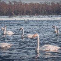 Лебеди. Январь. Сибирь... :: Артем Мухин