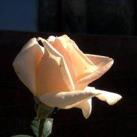 Крошечные паучки аккупировали розу. :: Anna Gornostayeva