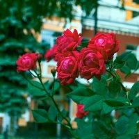 Розы :: Юрий Стародубцев
