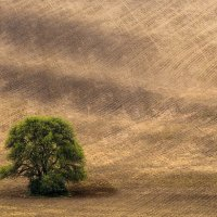Lonely tree. :: Vladimir Nedayvoda