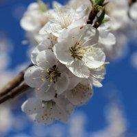 Цветущая вишня. :: Артур Ходос