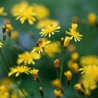 Пчела на желтых цветах :: Длинный Кот