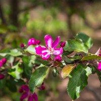 ..дикая яблоня в цвету :: Elena Tatarko (фотограф)