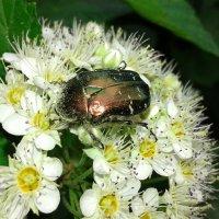 Майский жук :: Юлия S