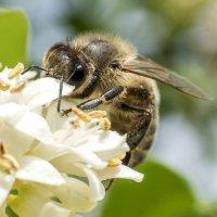 пчела работает :: Лариса Батурова