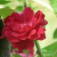 Красная роза :: Игорь Шубовичь