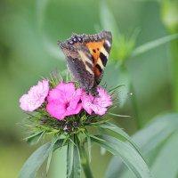 Бабочка :: Владимир Красевский
