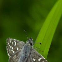 Толстоголовка шашечная или белопятнистая Альвеус Pyrgus alveus (Hesperia alveus)... :: Федор Кованский