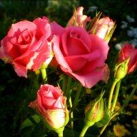 Мои розы :: Татьяна Пальчикова