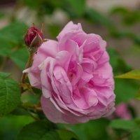 Розовая роза :: Светлана Григорьева